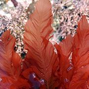 Growing ingredient: Why seaweed is the new kale- health conscious consumers driving demand