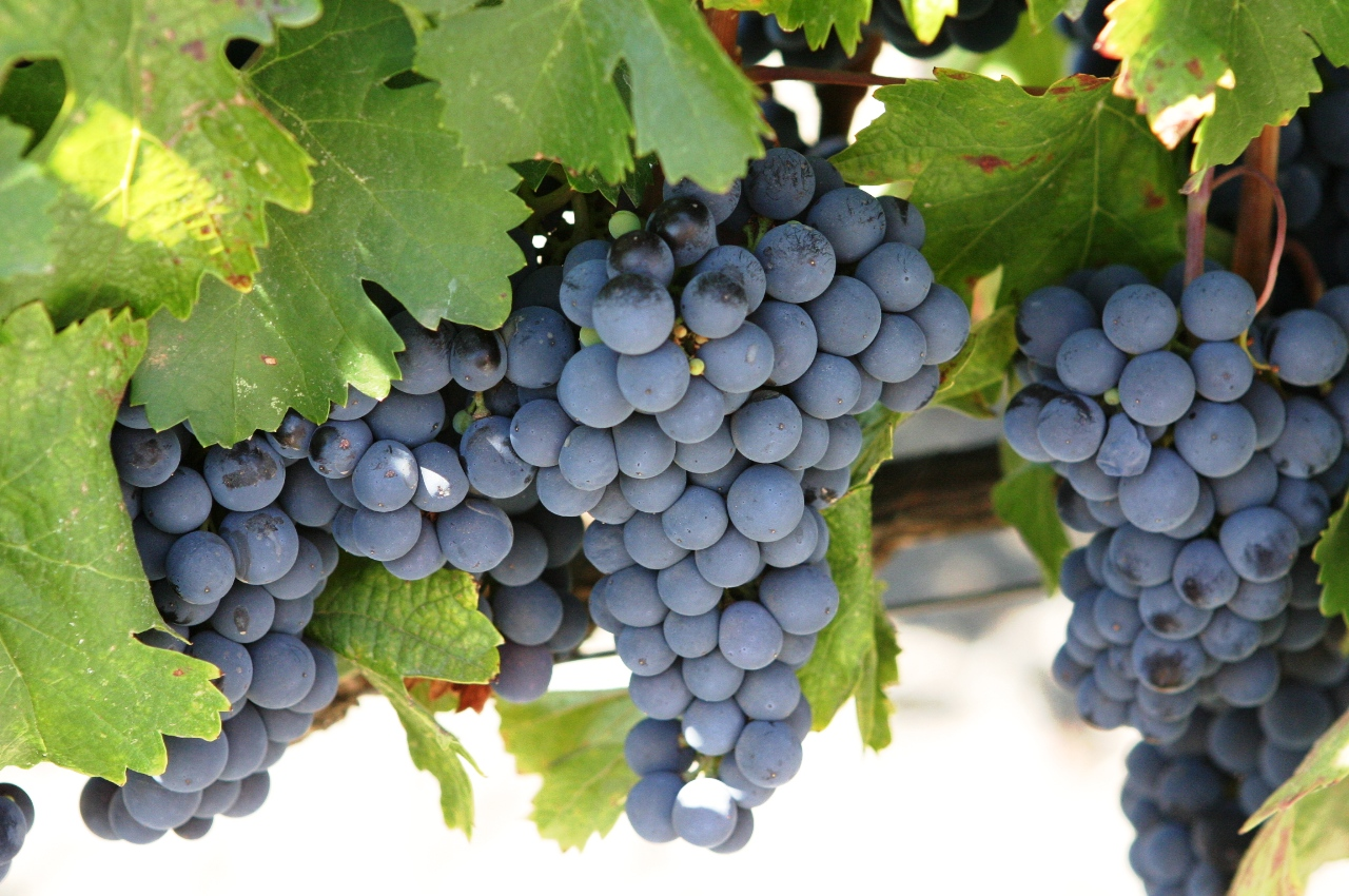 Research: Concord grape juice shown to be beneficial