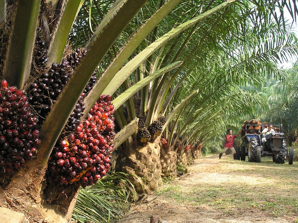 "Report: Indonesian palm oil ""limited growth"""