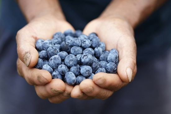 Study: blueberry juice improves cognitive function