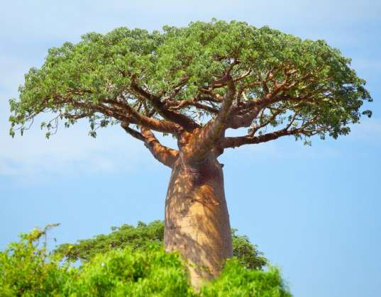 Mintel: baobab has a promising future in energy drinks