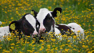 Mintel: Germans priortise cow welfare, sourcing