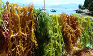 Cargill announces sustainably sourced carrageenan extract