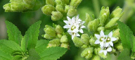 PureCircle claims first commercially viable stevia antioxidant