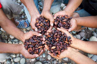 Hershey announces holistic  cocoa sustainability strategy