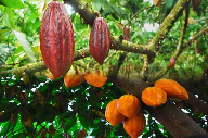 Cocoa Barometer 2018 report published