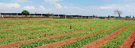 PureCircle to harvest first commercial stevia crop