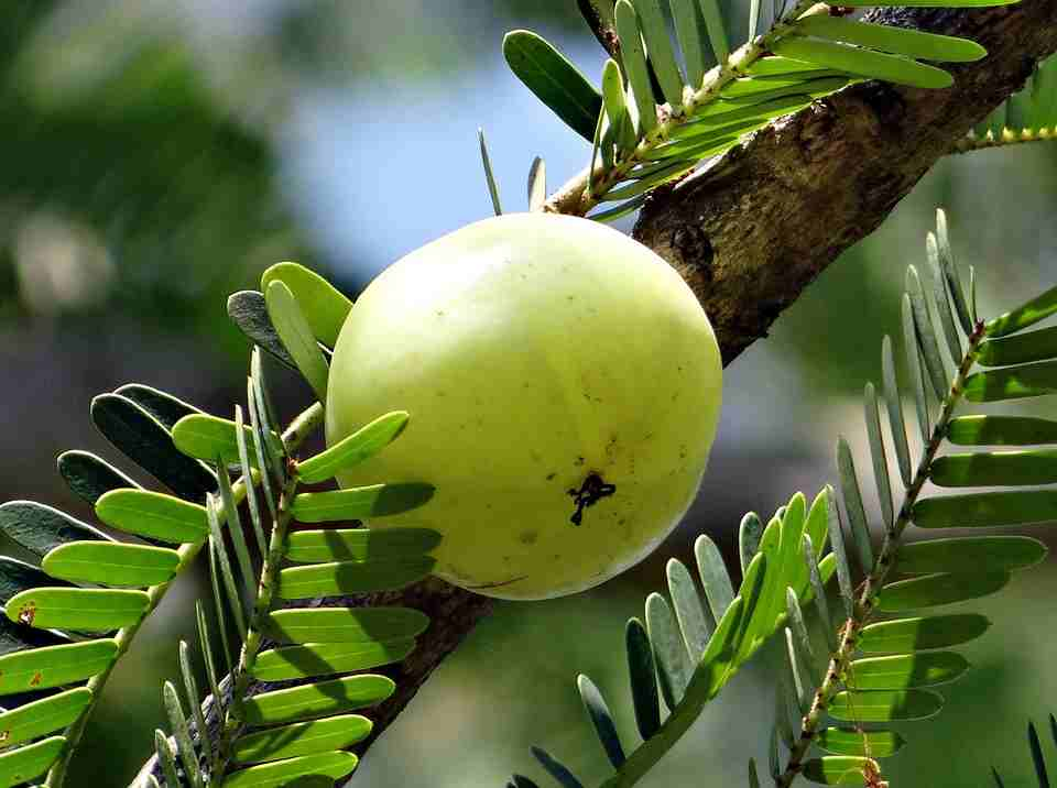 Arjuna Natural publishes amla study