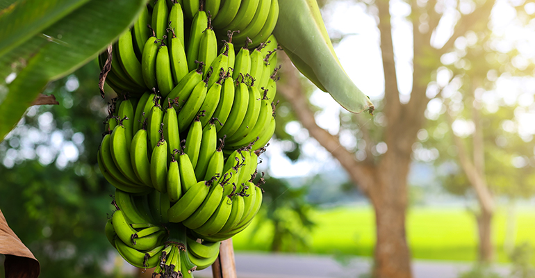 Banana imports from the Philippines expected to drop 40%