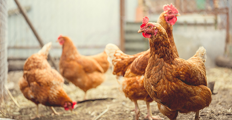 Blue Apron co-founder raises $10M to breed a superior chicken
