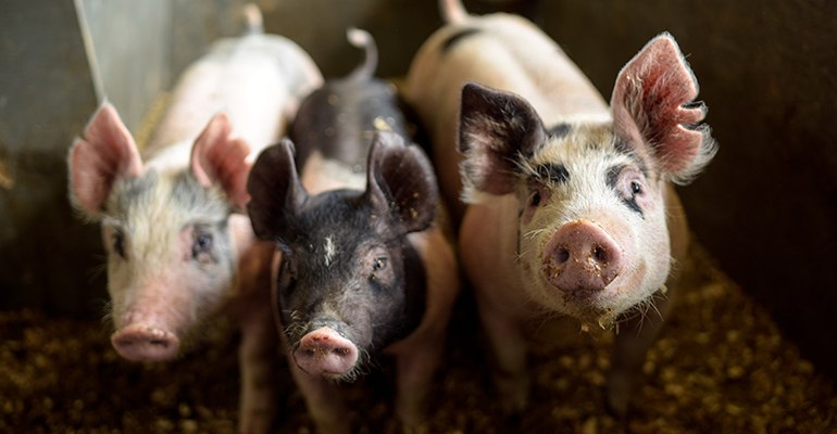 African Swine Fever confirmed in Germany