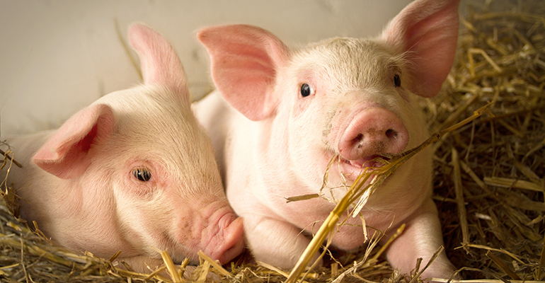Belgium is officially declared free from African Swine Fever