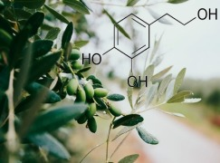 Glycerol concentrated extract of olive leaf polyphenols