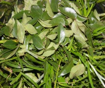 Karapincha – Curry Leaf (Murraya Koenigii)