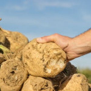 http://www.dreamstime.com/royalty-free-stock-image-sugar-beet-someone-holding-his-hand-image37944766