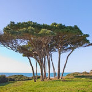 http://www.dreamstime.com/stock-photo-maritime-pine-tree-group-baratti-tuscany-image26857720