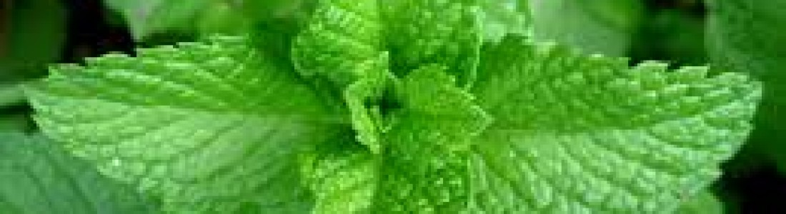 Kemin spearmint extract improves cognitive performance
