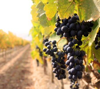 Chr. Hansen to participate in wine study